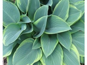 Bohyška 'Regal Splendor' - Hosta 'Regal Splendor'