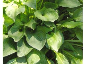 Bohyška ´Royal Standard´ - Hosta 'Royal Standard'