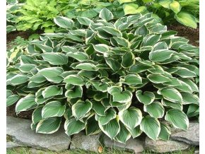 Bohyška 'Torchlight' - Hosta 'Torchlight'