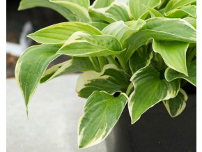 hosta wide brim (1)