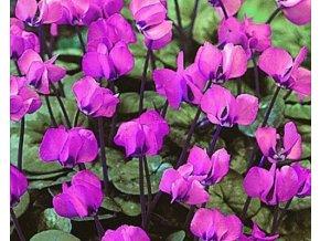 Brambořík - Cyclamen coum
