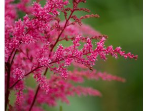 astilbe Finale