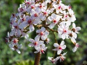 Darmera štítnatá - Peltiphyllum peltatum