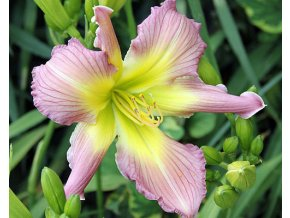 Denivka 'Amethyst Jewel' - Hemerocallis 'Amethyst Jewel'