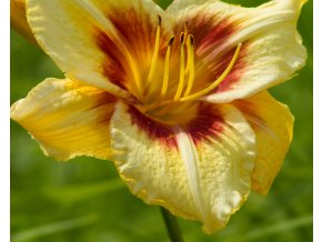hemerocallis circle and stripes (2)
