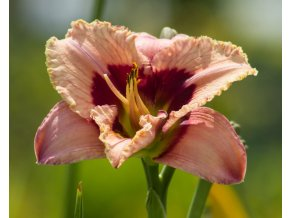 hemerocallis orchid candy (3)