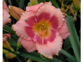Denivka ´Strawberry Candy´ - Hemerocallis 'Strawberry Candy'