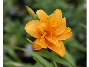 Denivka ´Three Tears´ - Hemerocallis 'Three Tears'
