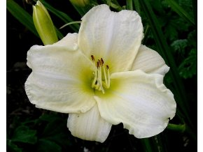 Denivka ´White Temptation´ - Hemerocallis 'White Temptation'