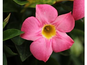 Dipladenie, Mandevilla - růžová