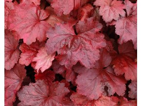 Dlužicha ´Galaxy´ - Heuchera 'Galaxy'