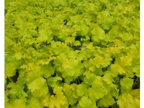 Dlužicha ´Little Cutie Blondie in Lime´ - Heuchera 'Little Cutie Blondie in Lime'