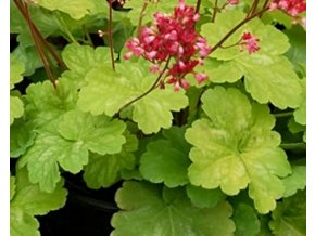 Dlužicha ´Little Cutie Sweet Tart´ (EU3706) - Heuchera 'Little Cutie Sweet Tart' (EU3706)