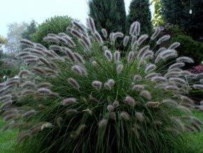 Dochan psárkovitý ´Lady U´ - Pennisetum alopecuroides 'Lady U'