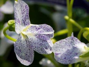 Fialka motýlkovitá 'Freckles' - Viola sororia 'Freckles'