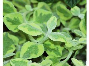 Helichrysum (panašovaný list)