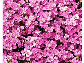 Huseník kavkazský  ´Little Treasure Deep Rose´ - Arabis caucasica 'Little Treasure Deep Rose'