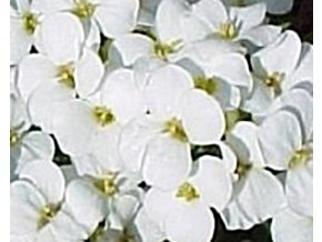 Huseník kavkazský ´Little Treasure White´ - Arabis caucasica comp. 'Little Treasure White'