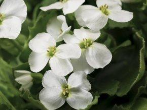Huseník kavkazský ´Little Treasure White´ - Arabis caucasica comp. 'Little Treasure White'