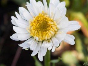 Hvězdnice alpská ´Christina´ - Aster alpinus 'Christina'