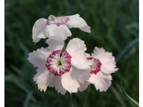 Hvozdík péřitý  ´Dixie® White Red Bicolor´ - Dianthus plumarius 'Dixie® White Red Bicolor'