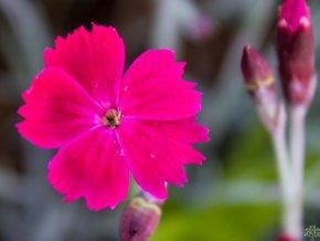 Hvozdík sivý 'Dobromierz' - Dianthus gratianopolitanus 'Dobromierz'