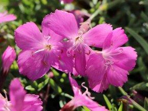 Hvozdík sivý 'La Bour Bille' - Dianthus gratianopolitanus 'La Bour Bille'