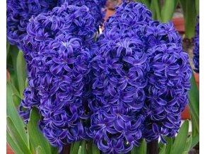 Hyacint ´Aida´/kontejner