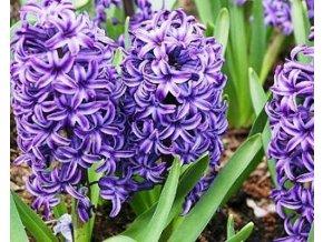Hyacint ´Blue Jacket´/kontejner