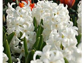 Hyacint ´Carnegie´/kontejner