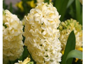 Hyacint ´City of Haarlem´/kontejner