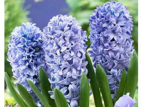 Hyacint ´Delft Blue´