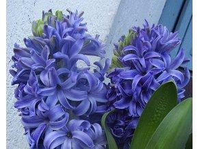 Hyacint ´Marie´/kontejner