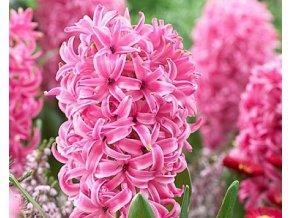 Hyacint ´Pink Pearl´/kontejner