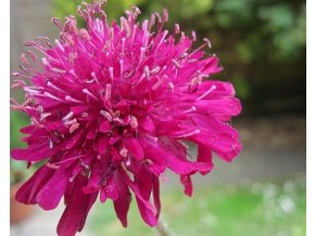 Chrastavec makedonský 'Red Knight' - Knautia macedonica 'Red Knight'