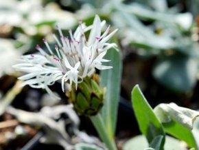 Chrpa pindicola - Centaurea pindicola