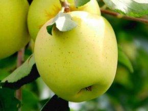 Jabloň ´Antonovka´ (Balení prostokořenný stromek, Podnož M26)