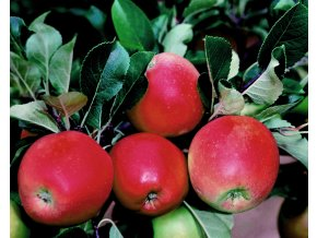 Jabloň ´Daria´