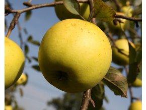 Jabloň ´Denár´