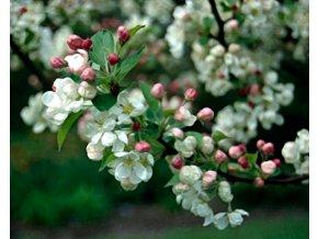 Jabloň okrasná PERPETU ´Evereste´