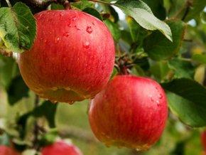 Jabloň ´Gala Must´