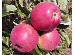 Jabloň ´Gascoyneho Šarlatové´