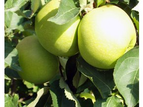 Jabloň ´Golden Delicious  Reinders´