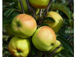 Jabloň ´Golden Delicious´