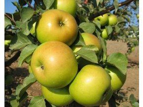 Jabloň ´Goldstar´