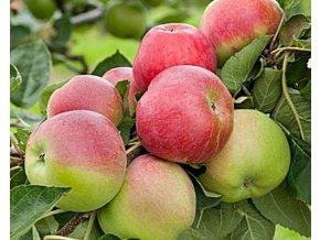 Jabloň sloupovitá ´Charlotte´
