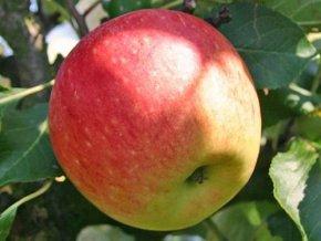 Jabloň ´James Grieve Lired´