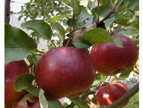 Jabloň ´Karmína´