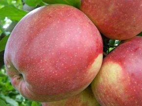 Jabloň ´Ligol´ (Balení prostokořenný stromek, Podnož M26)