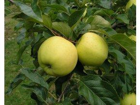 Jabloň ´Luna´